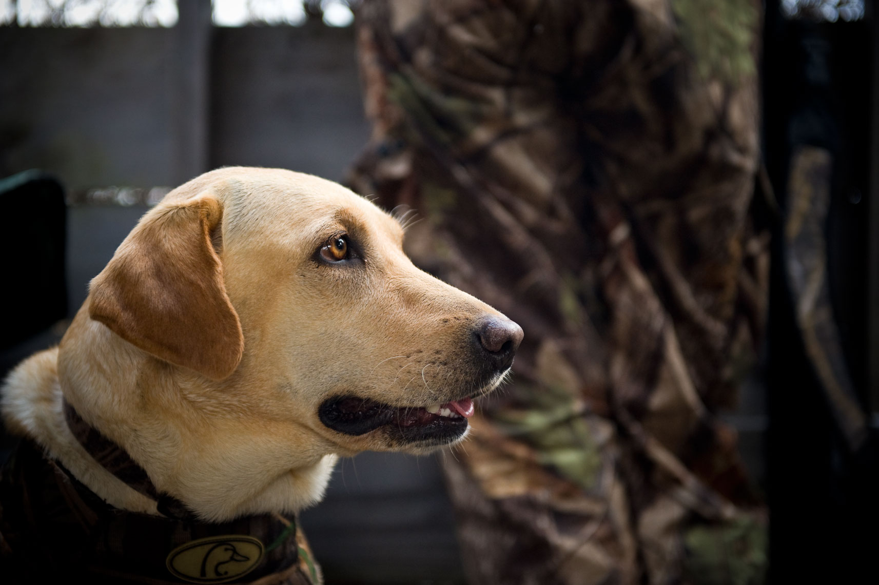 Hunting for waterfowl on the Eastern Shore of Maryland: a yellow lab waits to retrieve in the blind