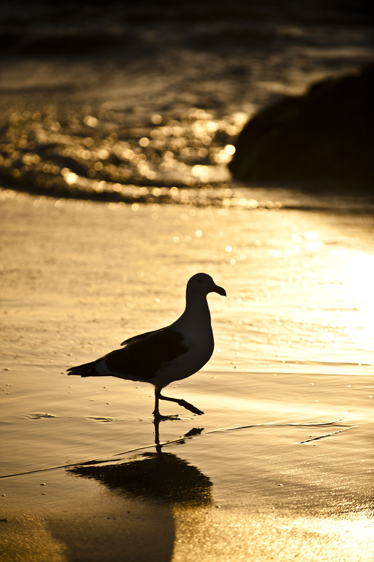 A seagull stands in the sunset at Asilomar State Beach, Pacific Grove, California