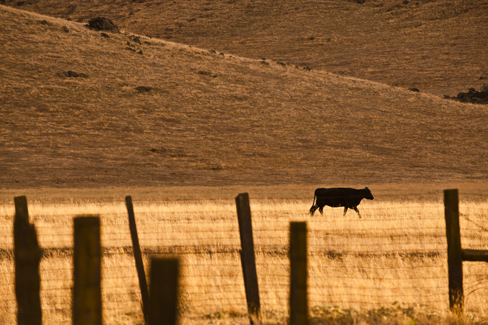 A silhouetted cow walks across a golden field in the Yokohl Valley, California